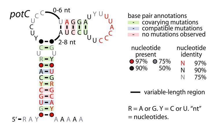 PotC RNA motif