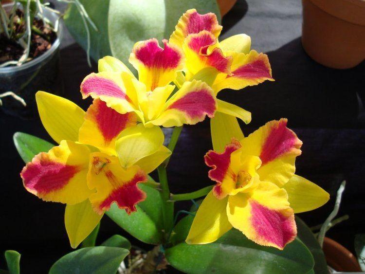 Potinara Happy Blog Potinara Orchid
