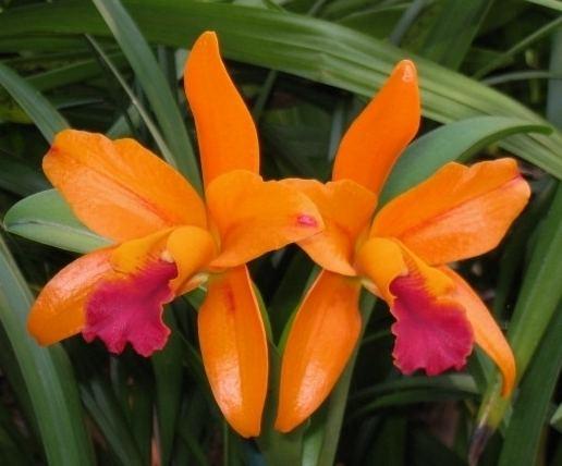 Potinara Potinara Netrasiri Starbright Tinonee Orchid Nursery