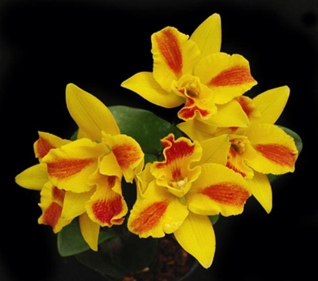 Potinara Potinara Burana Beauty 39Burana39 HCCAOS presented by Orchids Limited