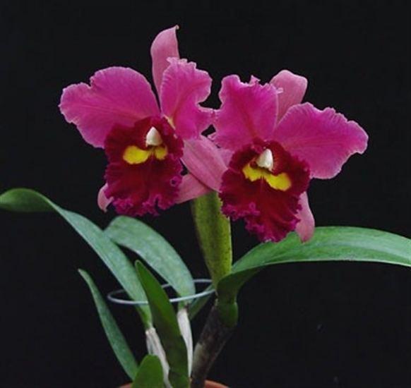 Potinara Pot Memoria Harriet George 39Glendale Hights39 presented by Orchids