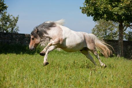 Pottok Pottok Basque Pony Info Origin History Pictures Horse Breeds