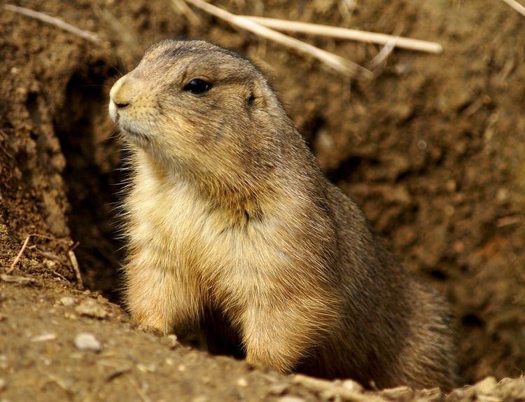 Prairie dog httpsuploadwikimediaorgwikipediacommons00