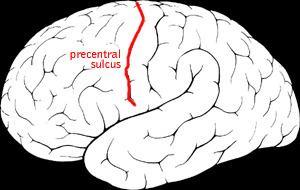 Precentral sulcus