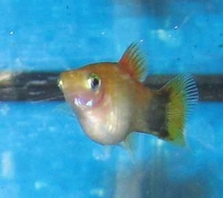 Pregnancy in fish