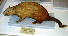 Prehensile-tailed hutia httpsuploadwikimediaorgwikipediacommonsthu