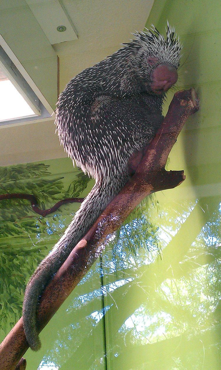 Prehensile-tailed porcupine Prehensiletailed porcupine Wikipedia