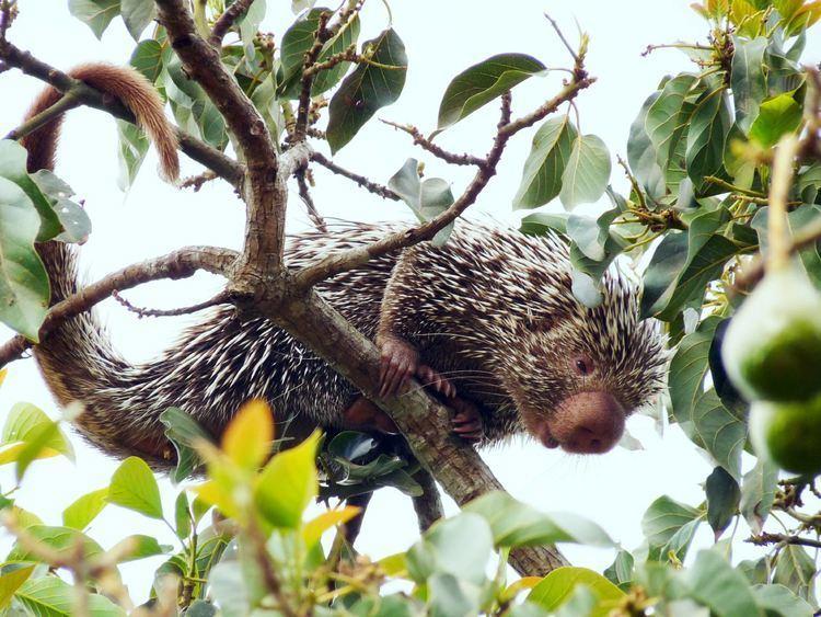 Prehensile-tailed porcupine cdnscinewscomimagesenlargeimage1588eCoendo