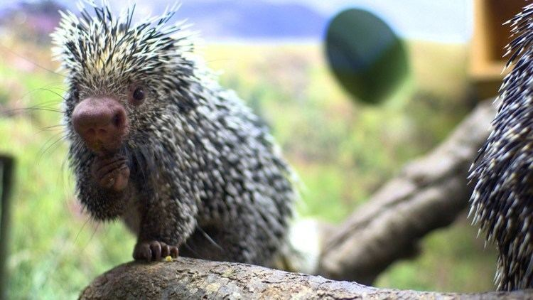 Prehensile-tailed porcupine What Is a PrehensileTailed Porcupine YouTube