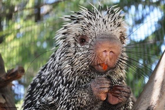 Prehensile-tailed porcupine Charles Paddock Zoo PrehensileTailed Porcupine