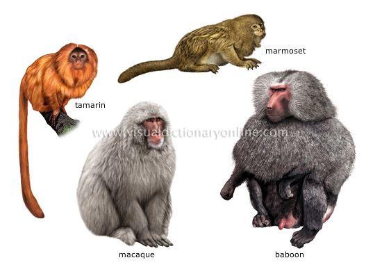 Primate ANIMAL KINGDOM PRIMATE MAMMALS EXAMPLES OF PRIMATES 1 image