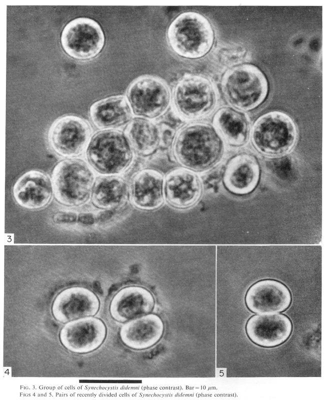 Prochloron Prochloron CyanoDBcz A database of cyanobacterial genera