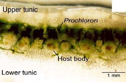 Prochloron Prochloron MicrobeWiki