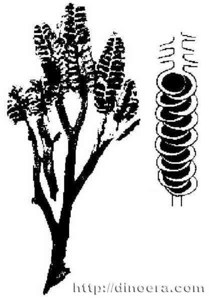 Protobarinophyton dinoeracomsitesdefaultfilesprotobarinophyton