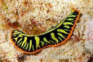 Pseudobiceros Tiger Flatworm Pseudobiceros cf dimidiatus