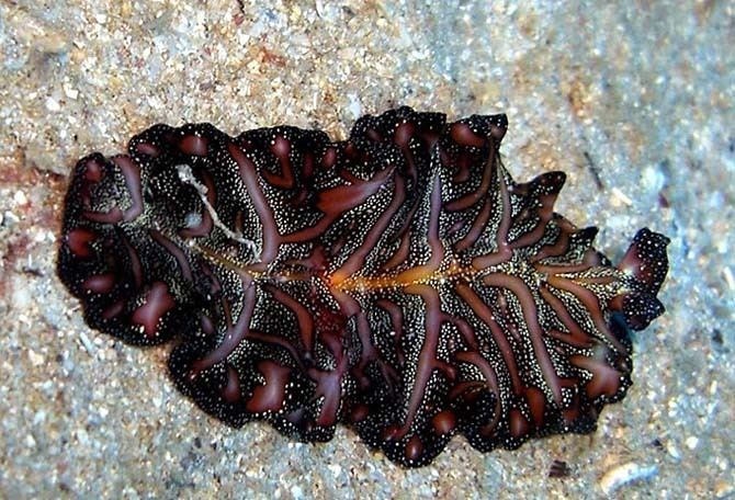 Pseudobiceros bedfordi seaslugsfreefrflatwormimagepseudobicerosbedf