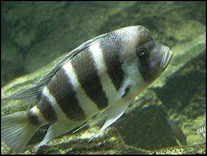 Pseudocrenilabrinae httpsuploadwikimediaorgwikipediacommonsthu