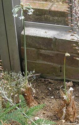 Pseudogaltonia Pacific Bulb Society Harry Hay39s Gardens