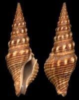 Pseudomelatomidae wwwgastropodscomShellImagesThumbNailsPRTN