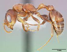 Pseudomyrmex ferruginea httpsuploadwikimediaorgwikipediacommonsthu