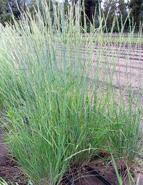Pseudoroegneria spicata Pseudoroegnaria spicata Bluebunch Wheatgrass