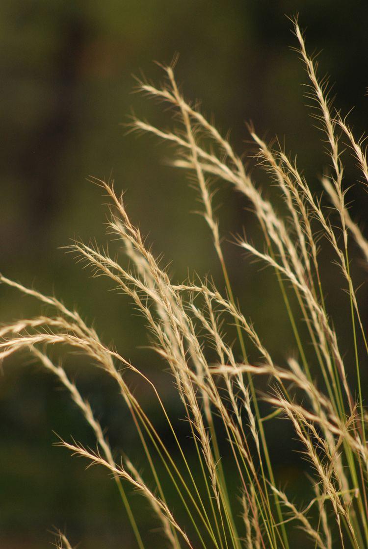 Pseudoroegneria spicata bluebunch wheatgrass Pseudoroegneria spicata Blackfoot Native Plants