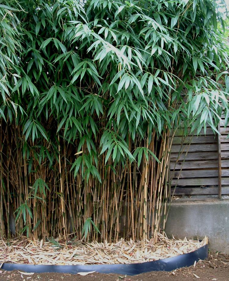 Pseudosasa japonica Pseudosasa japonica quotJapanese Arrowquot