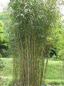Pseudosasa japonica httpsuploadwikimediaorgwikipediacommonsthu