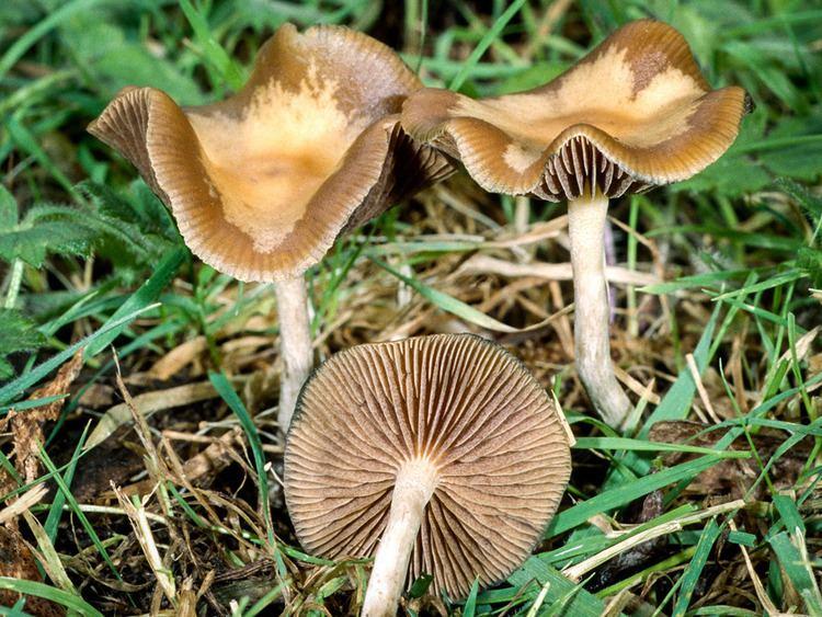 Psilocybe cyanescens - Alchetron, The Free Social Encyclopedia