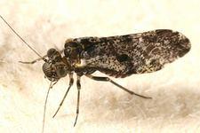 Psocidae tolweborgtreeToLimagesLoensiamoesta150ajpg