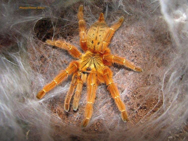 Pterinochilus murinus httpsiytimgcomvikq1Y6Yz7esmaxresdefaultjpg