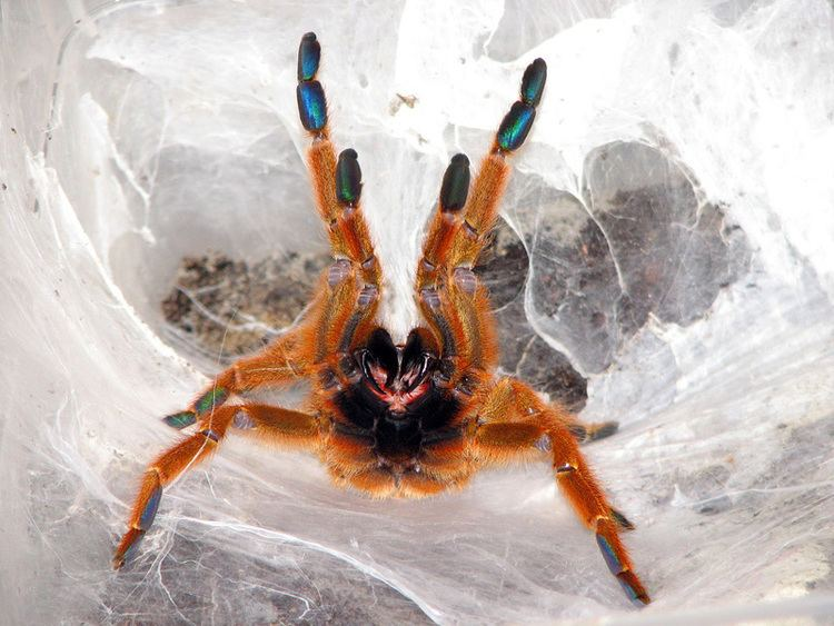 Pterinochilus murinus Mombasa Golden Starburst Baboon Spider Pterinochilus murinus