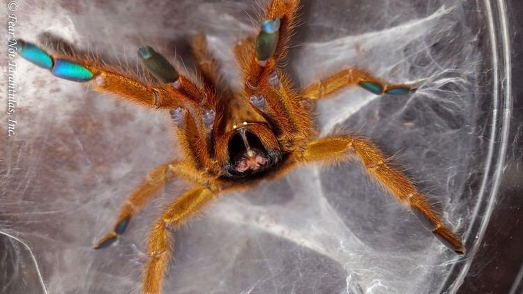 Pterinochilus murinus Pterinochilus murinus Orange Baboon Tarantula OBT Female Adult