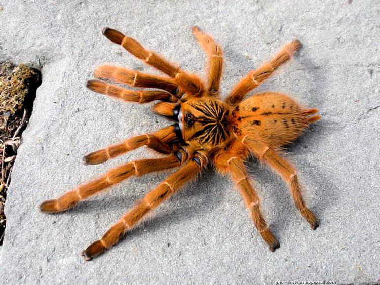 Pterinochilus murinus 10 Best images about Tarantulas on Pinterest Singapore Midnight