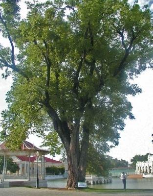 Pterocarpus macrocarpus Pterocarpus macrocarpus Useful Tropical Plants