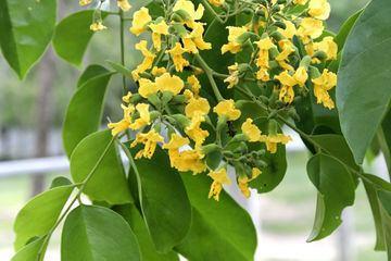 Pterocarpus macrocarpus Pterocarpus macrocarpus ZipcodeZoo