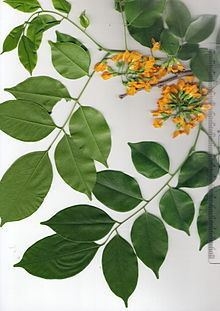 Pterocarpus macrocarpus httpsuploadwikimediaorgwikipediacommonsthu