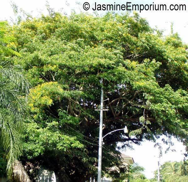 Pterocarpus macrocarpus Pterocarpus macrocarpus GumKino Tree Burma Padauk Mai Pradoo