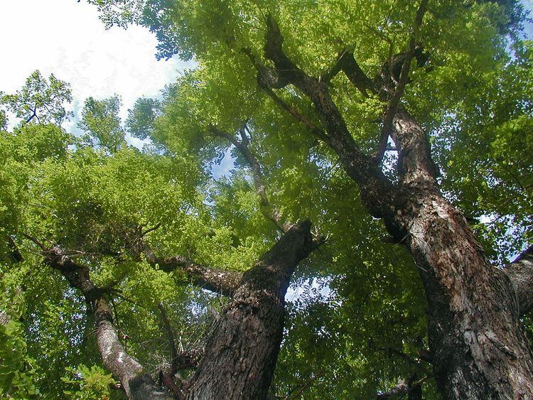 Pterocarpus macrocarpus Pterocarpus macrocarpus Pradoo Burma padauk Burmese ros Flickr