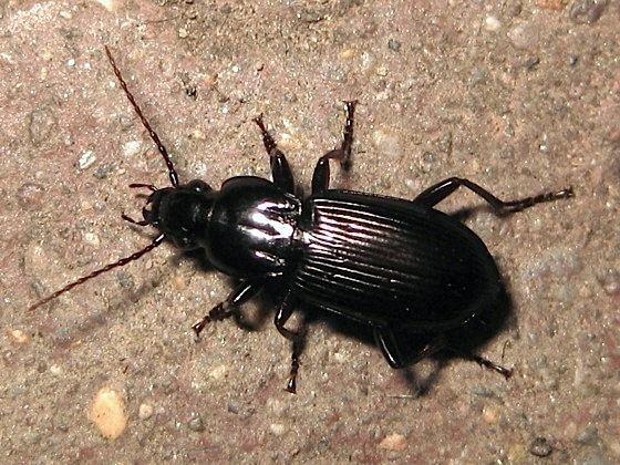 Pterostichus Nocturnal beetle Pterostichus BugGuideNet