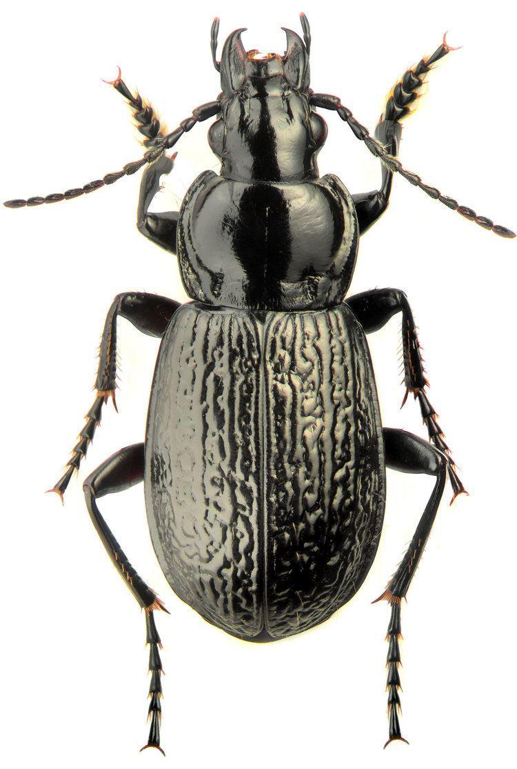 Pterostichus Genus Pterostichus Bonelli 1810 Carabidae