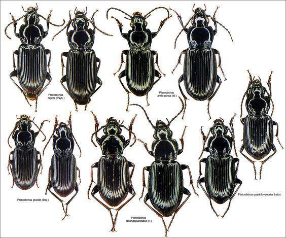 Pterostichus httpclaudeschottfreefrCarabidaePterostichusPterostichusPL2