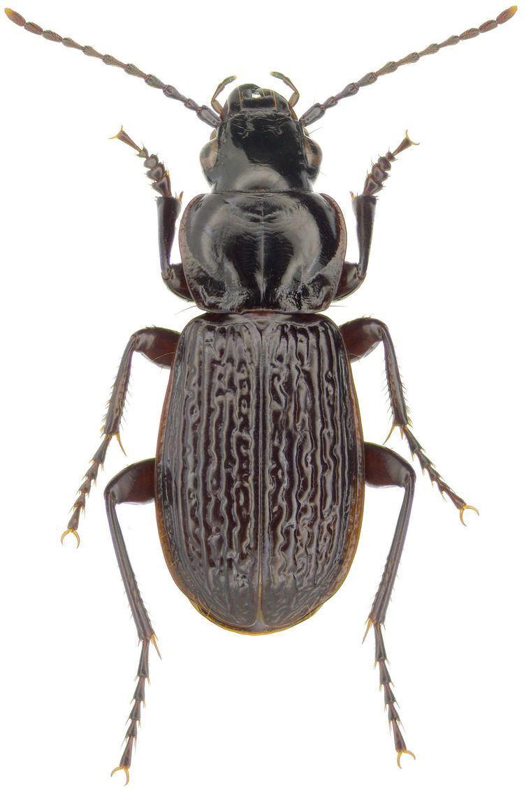 Pterostichus Pterostichus Wikispecies