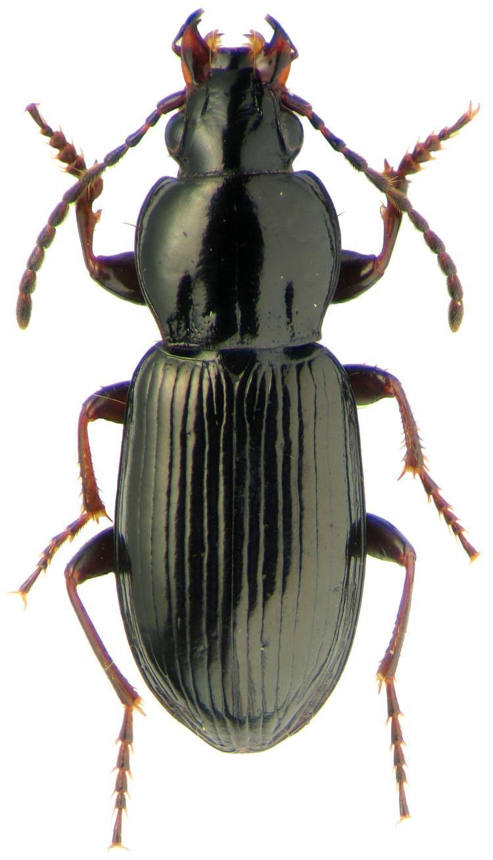 Pterostichus carabidaeorgcarabidaePterostichus20Phonias20d