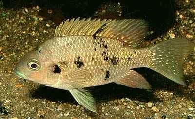 Ptychochromis wwwthejumpnetidmorefishPtychochromisoligaca