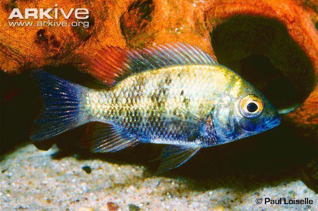 Ptychochromis Ptychochromis photo Ptychochromis loisellei G79954 ARKive