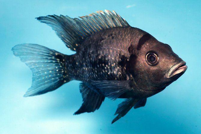 Ptychochromis Ptychochromis sp Tarantsy Practical Fishkeeping Magazine