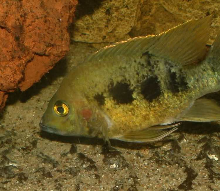 Ptychochromis Changing from Tanganyika to Madagascar and questions Page 2 The