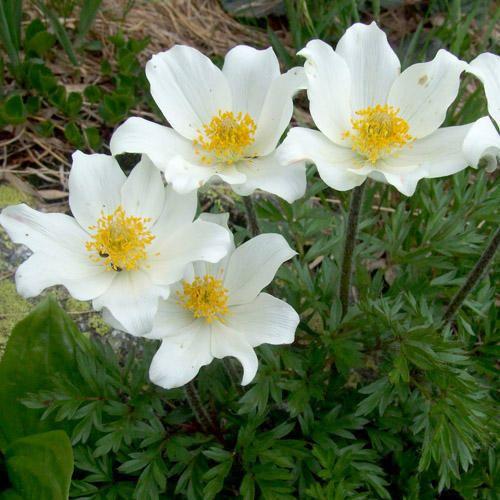 Pulsatilla alpina PULSATILLA ALPINA SEEDS Alpine Pasque Flower Alpine Anemone