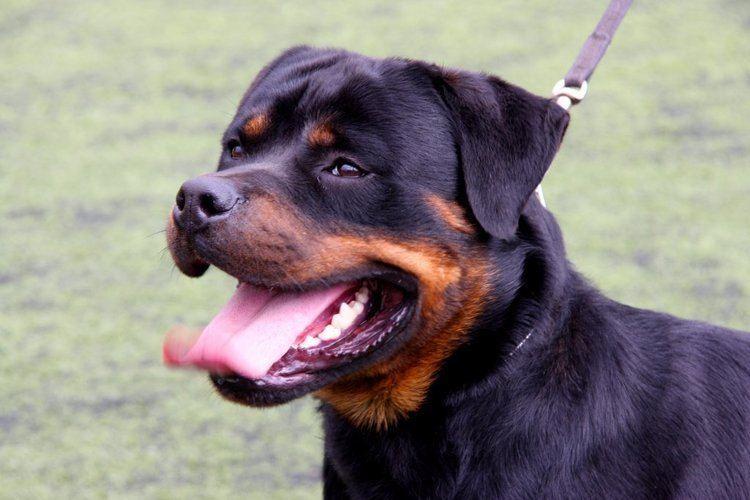 Purebred dog The 10 Most Expensive Purebred Dogs Ever Rovercom